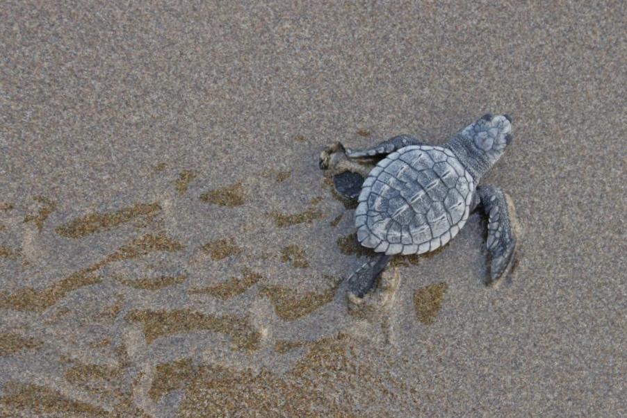 Protección y conservación de la tortuga marina es un compromiso de Riviera Nayarit